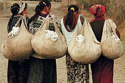 farmers picking cotton